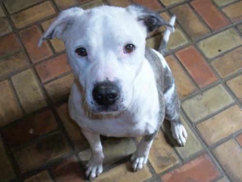 Pit Bull Terrier - Violet - Medium - Adult - Female -