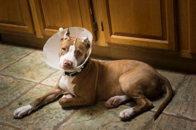 Red Nose Pitbulls Pets And Animals For Sale In The Usa Puppy And