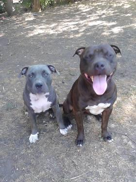 pitbull puppies for sale in kansas city