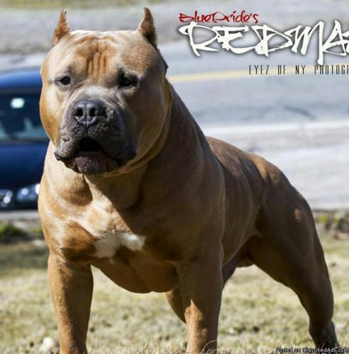 Learn These Pitbull Puppies For Sale In Ny {Swypeout}