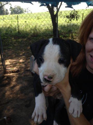 Pitbull Puppies For Sale In Columbia Kentucky Classified