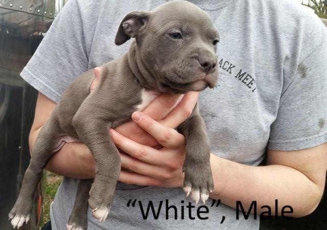 Bully Pitbull Dog For Sale