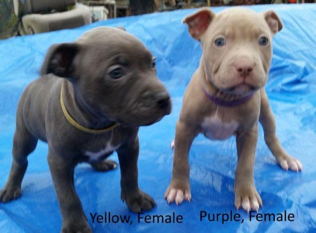 Pitbull puppies, bully, blue & fawn w/ health certificates UKC