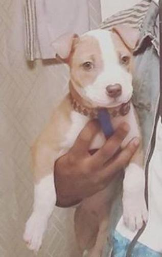 Pitbull puppies due February 13th