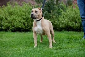 Pitbull Puppies For Sale In Alabama Classifieds Buy And Sell In