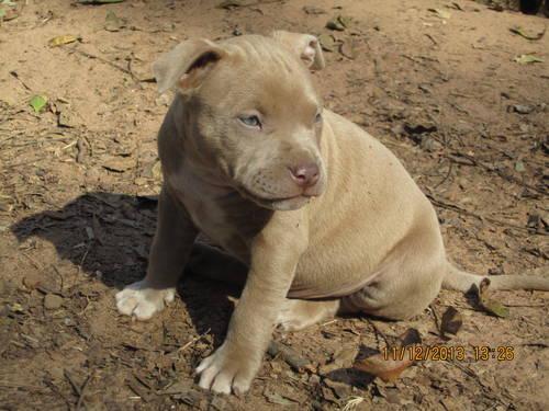 Pitbull Puppies (Jones County)