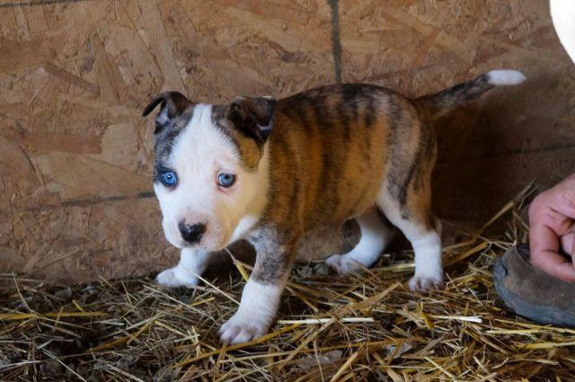 Pitsky Puppies 8 Weeks For Sale In Nemah Washington
