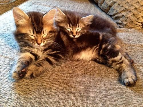 Pixie bob/American bobtail kittens for Sale in Vancouver ...