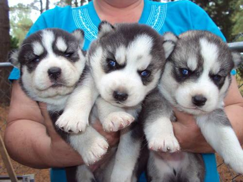 Pets And Animals For Sale In Sims North Carolina Puppy And Kitten