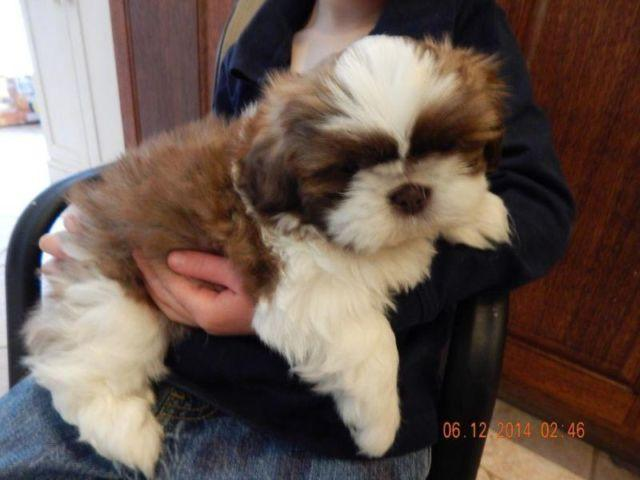 Shih Poo For Sale In Sumner Washington Classifieds Buy And Sell