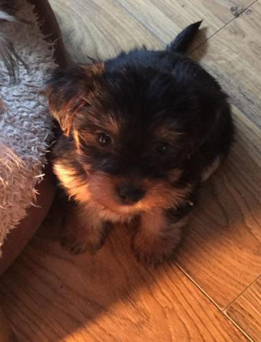 Teacup Yorkie Puppies For Sale In Illinois Classifieds Buy And
