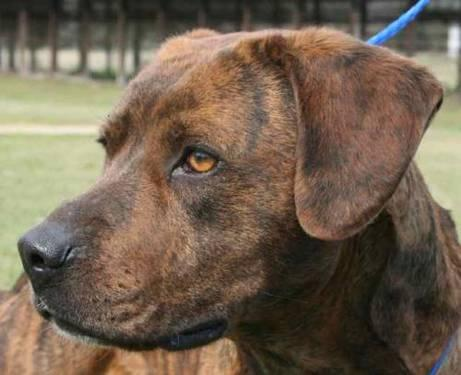 Plott Hound - Bocephus - Large - Adult - Male - Dog