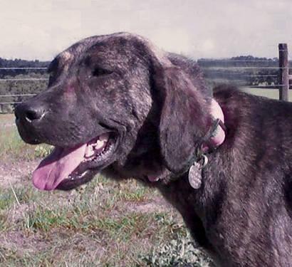 Plott Hound - February - Medium - Young - Female - Dog