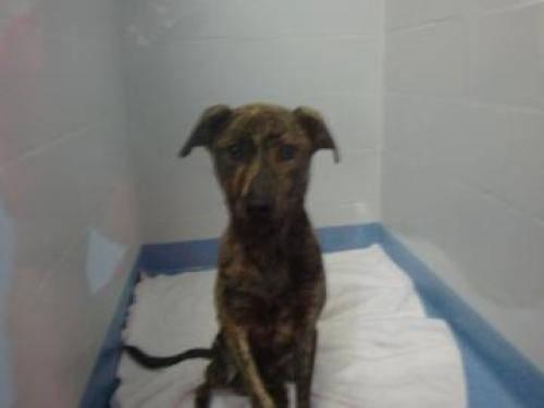 Plott Hound - February - Medium - Young - Female - Dog