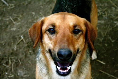 Plott Hound - Samson - Large - Senior - Male - Dog