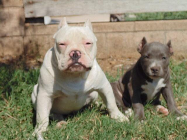 Pocket Bully Puppies