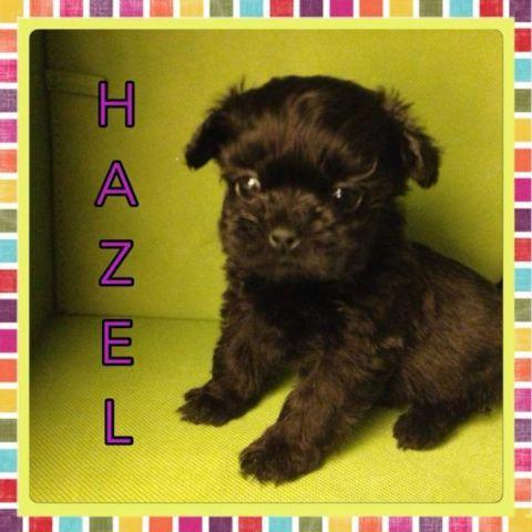 Pocket Puppies - Shih Tzu, Toy Poodle & Pekingese x
