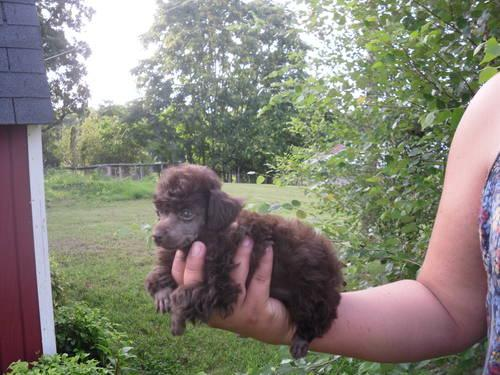 Pocket t cup Poodle