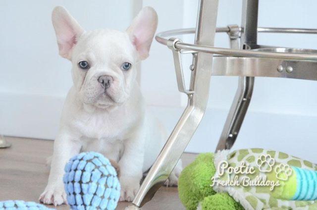 poetic french bulldogs blanco platinum blue male puppy  sale  pompano beach florida