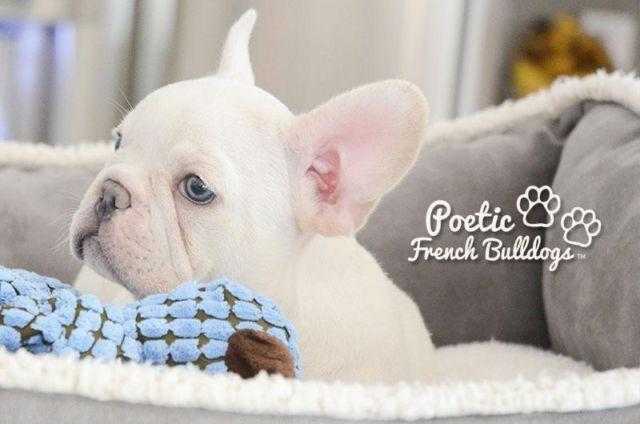Poetic French Bulldog's Blue eyes Full AKC Platinum Blue ...