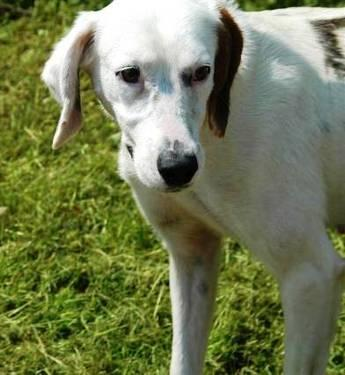 Pointer - Daisey - Medium - Adult - Female - Dog