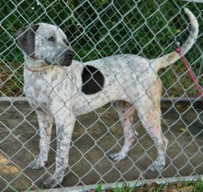 Pointer - Jess - Medium - Young - Female - Dog