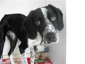 Pointer - Lucy - Medium - Adult - Female - Dog