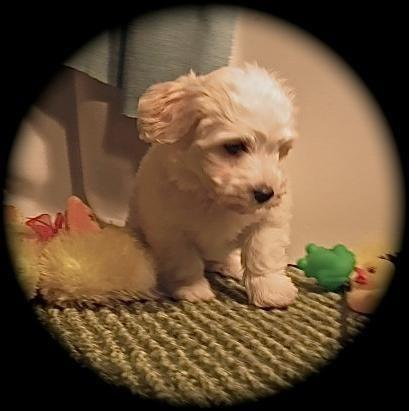 Polar Bear~ Irrestable Male Havanese Puppy 11 wks. old
