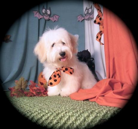 Polar Bear~ Irrestable Male Havanese Puppy 16 wks. old