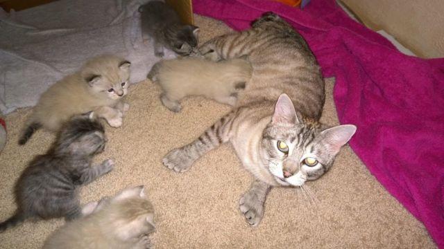 Desert Lynx Kittens Cats For Sale In Washington Classifieds Buy