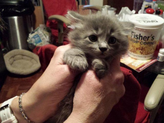 Polydactyl Mix Kittens For Sale In Pittsburgh