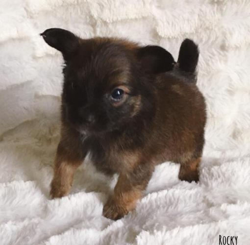 Pom Mix Puppies For Sale In Camarillo California Classified