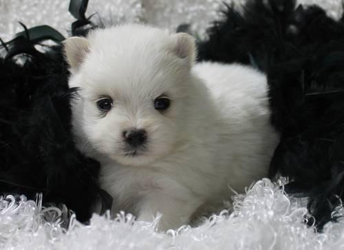 Pomapoo Designer Breed Puppies Pomeranian/Poodle for Sale ...