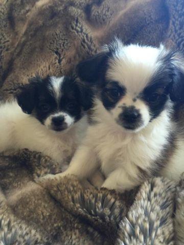 Pomapoo puppies for Sale in Santa Clarita, California ...