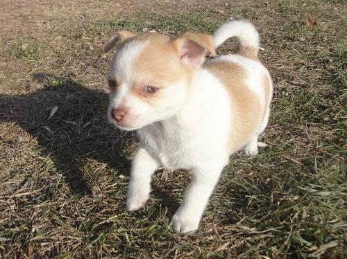 Pomchi Female Puppies For Sale In Clearwater Minnesota