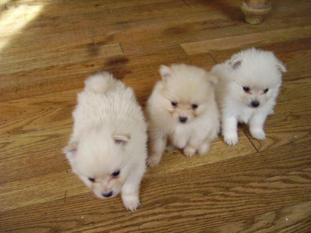 Pomeranian AKC tiny teacup Christmas Puppies for Sale in