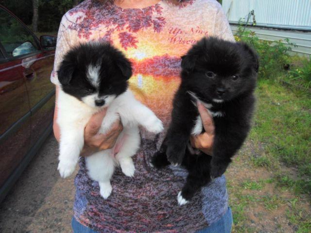 shih tzu pomeranian mix puppies for sale pomeranian and shih tzu mix puppies for sale in trego 5378