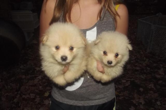 Pomeranian Babies For Sale In Big Spring Kentucky Classified