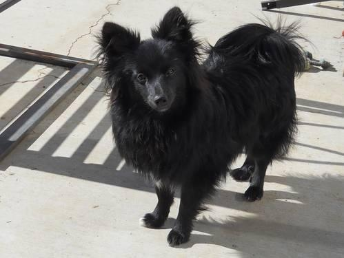 Pomeranian Blue Black Just Reduced! Lion Cut! 10 mos for ...White Pomeranian Lion Cut