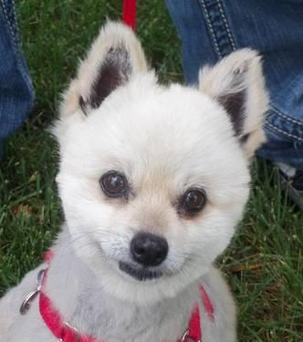 Pomeranian - Celeste - Small - Adult - Female - Dog