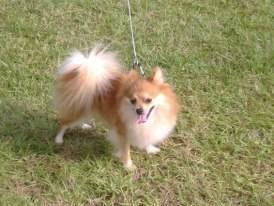 Pomeranian - Darby - Medium - Adult - Female - Dog
