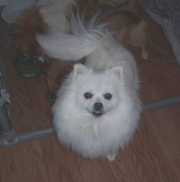 Pomeranian Female Cream/White 1.5 year old For Adoption