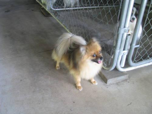 Pomeranian Female For Adoption-5 Years Old Very Sweet