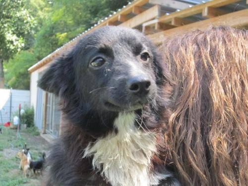 Pomeranian - Ish - Small - Adult - Male - Dog