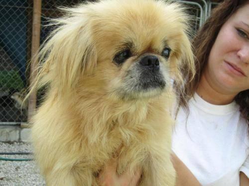 Pomeranian - Jenna - Small - Adult - Female - Dog