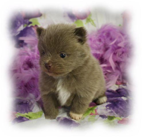 lavender pomeranian puppies for sale pomeranian lavender male puppy for sale in enid oklahoma 8583