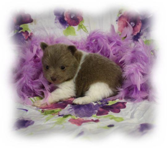 lavender pomeranian puppies for sale pomeranian lavender parti male for sale in enid oklahoma 1945