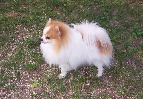 Pomeranian Male Parti Pom For Adoption Very Sweet 4
