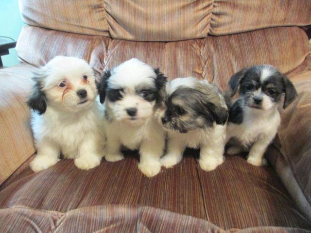 pomeranian puppy michigan pomeranian maltese shihtzu puppies for sale in jerome 8282