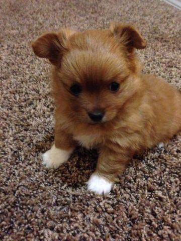 Papillon Puppy For Sale In Washington Classifieds Buy And Sell In